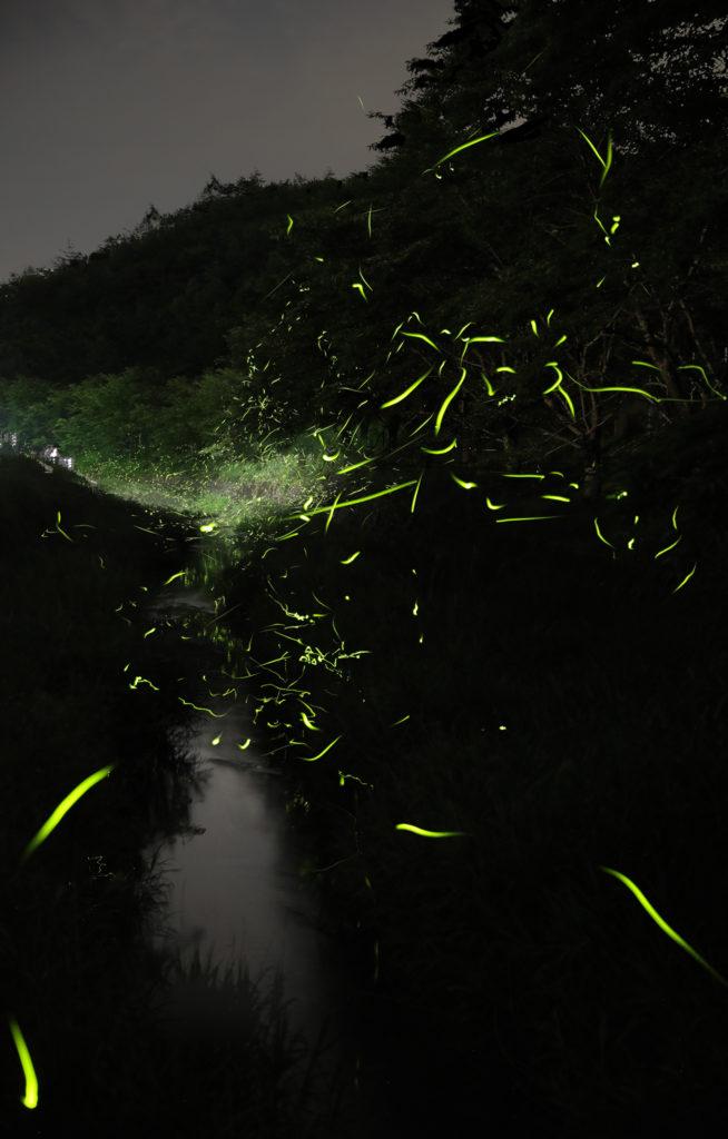 山県 ホタル 山高近くの用水路